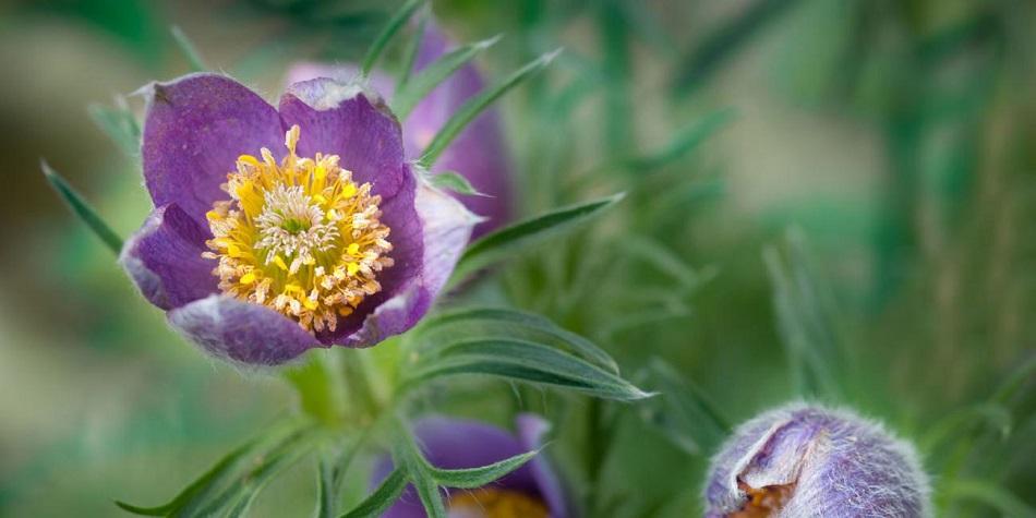 pulsatilla blossom