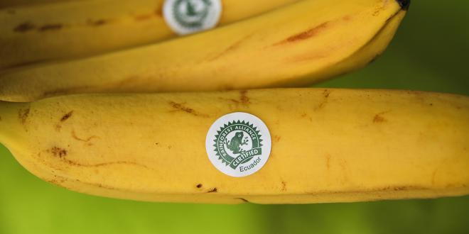 a bunch of sustainably sourced bananas