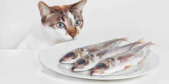 A hungry cat staring at a plate of fish.